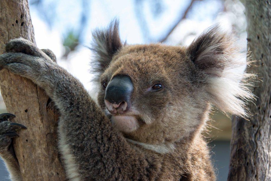 31-1 koala