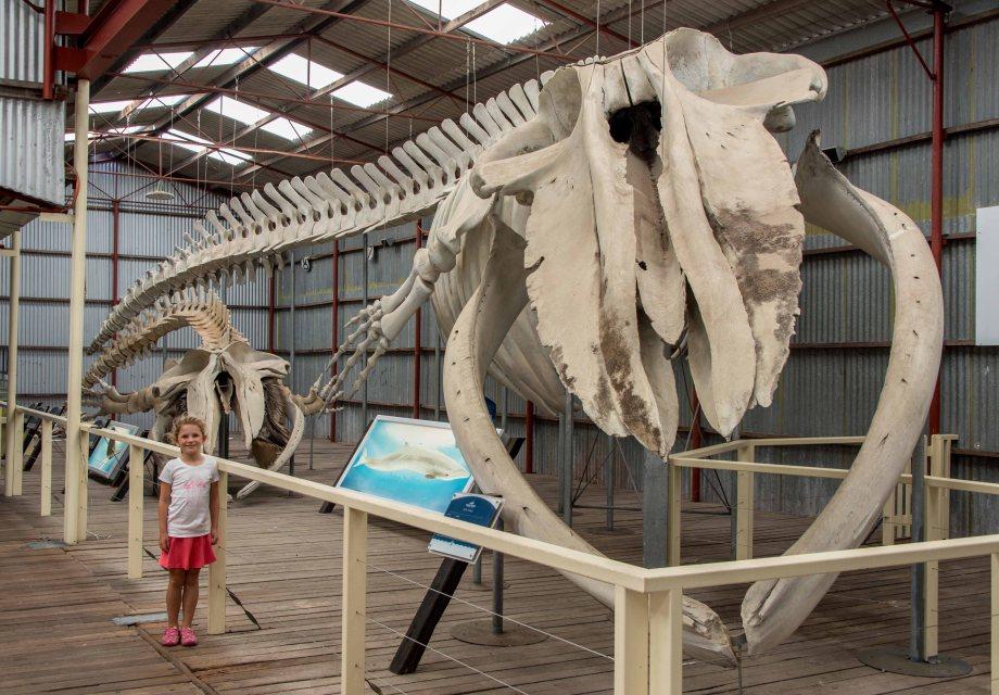 31-1 whale skeleton