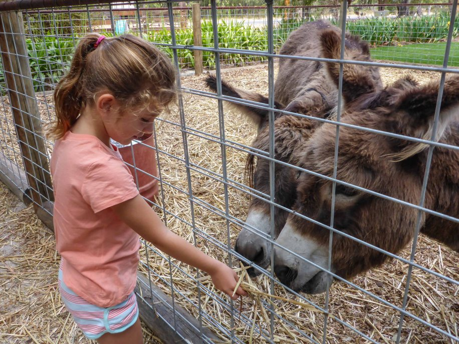 6-1 maddy feeding donkeys at eagle bay olives